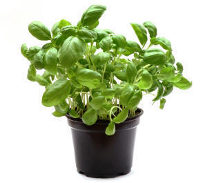 Ripe Organic Basil Herb Pot