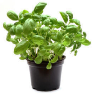Herb Pot, Basil