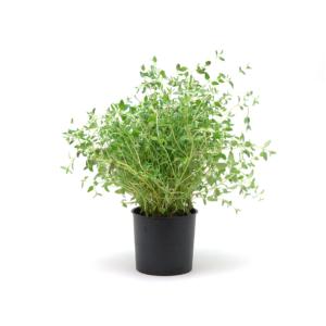 Ripe Organic Thyme Pot