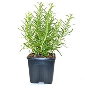 Ripe Organic Rosemary