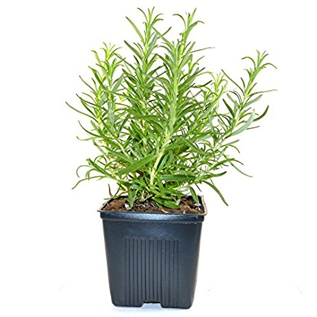 Ripe Organic Fresh Rosemary Pot