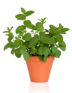 Mint herb growing in a terracotta pot, over white background.