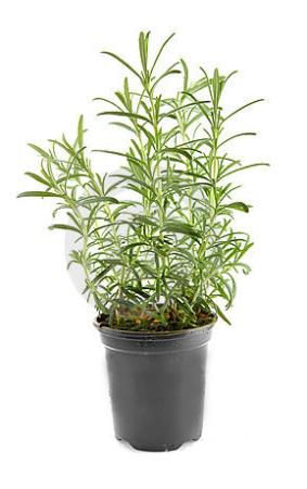 Ripe Organic Rosemary Herb Pot