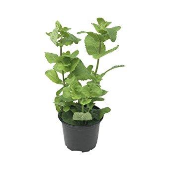Ripe Organic Mint Pot