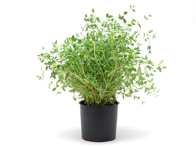 Ripe Organic Thyme Herb Pot
